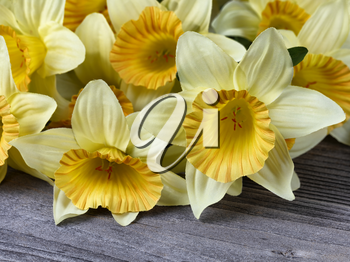 Close up of lovely single yellow cloth daffodil among other daffodils on aged wood