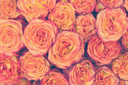 Colorful flower bouquet from roses in vanilla tones for use as background.