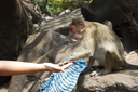 Portrait of a young Macaque taking on food with his hands. India Goa.