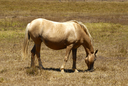 Pregnant Palomino Mare eating grass at a pasture field