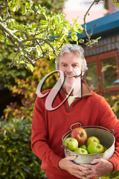 Mature Man Picking Apples From Tree In Garden
