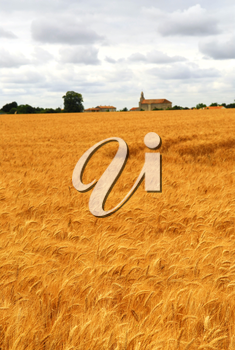 Agricultural landscape of golden wheat growing in a farm field