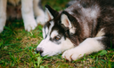 Sad Young Husky Puppy Eskimo Dog Lying In Grass Outdoor