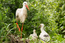 Stork with two chicks in a nest (Holland)