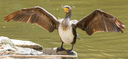 Phalacrocorax carbo (cormorant) drying it's wings on a rock