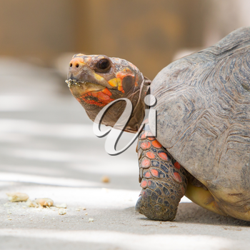 Cherry head red foot tortoise, Geochelone carbonaria