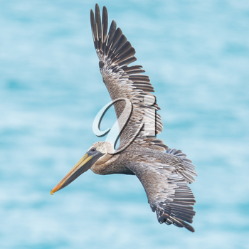 Brown pelican (Pelecanus occidentalis) in flight in Saint Martin, Caribbean