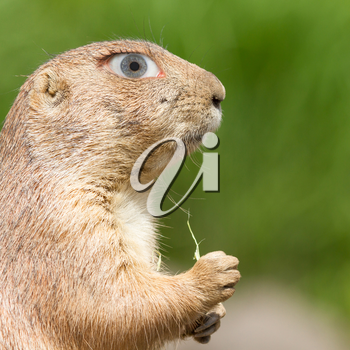 Prairie dog with a human eye, concept of humor