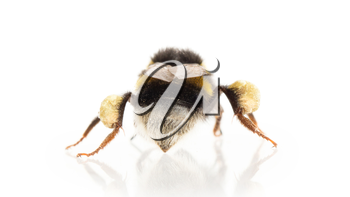 Small bee, isolated on a white background