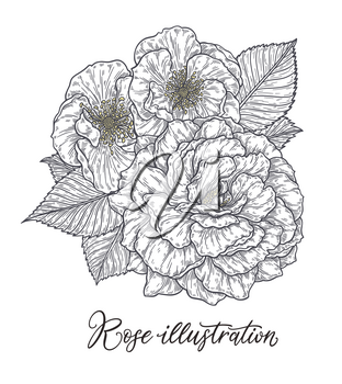 Rose flower hand drawn in lines. Black and white monochrome graphic doodle elements. Isolated vector illustration, template for design