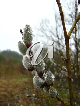 Young kidneys of a pussy-willow with drops in the spring