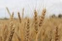 image of the field of spikelets of the wheat