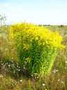 image of yellow flowers in the field
