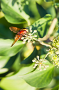 flower fly volucella inanis nectaring on green  blossoms of ivy plant in autumn day