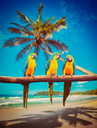 Tropical vacation concept - three parrots Blue-and-Yellow Macaw Ara ararauna also known as the Blue-and-Gold Macaw on tropical beautiful idyllic beach and sea background
