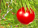 Red Christmas ball on a green pine branch taken closeup.