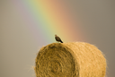 Swainson Hawks on Hay Bale after storm Saskatchewan Rainbow storm
