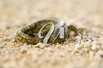 Close up Tiger Salamander on road Canada