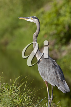 Great Blue Heron in Florida