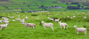 Herd of farm sheep gathered and grazing on an Irish mountain meadow