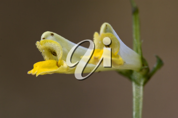 yellow flower medicago falcata leguminose