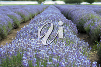 blooming field of lavender, theme nature, beautiful places and agriculture