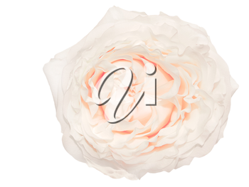 Cream colored rose isolated on white background