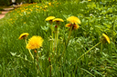 Flowering dandelions plants on a lawn in springtime