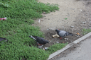 Close-up of pigeons group eating on the street 18590