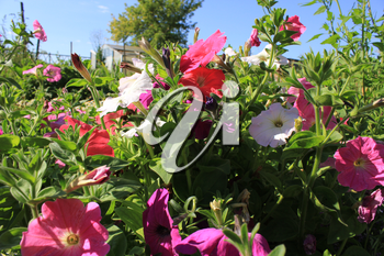 Background of red colorful flowers Ipomoea 8371