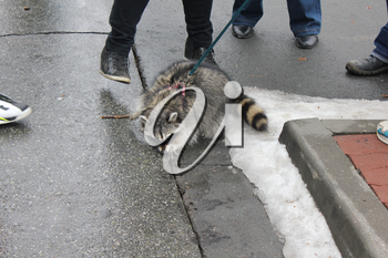 Domestic raccoon for a walk in the winter park 30461