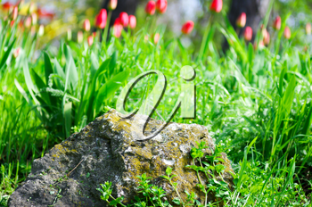 Lawn in a park with a large cobblestone in the foreground, spring plants and red tulips. Sharp focus in the foreground.