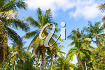 Forest of coconut palm trees over cloudy blue sky background