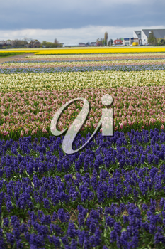 Hyacinth. Beautiful colorful pink, white, yellow and blue hyacinth flowers in spring garden, vibrant floral background, flower fields in Netherlands.
