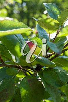 Apple grows on branch among the green foliage in apple fruit garden under sunlight, harvesting season in orchard.