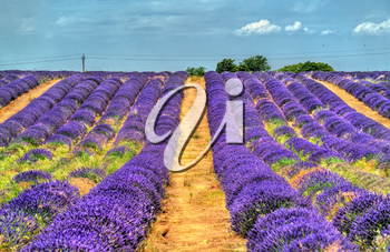 View of a lavender field in Provence, France