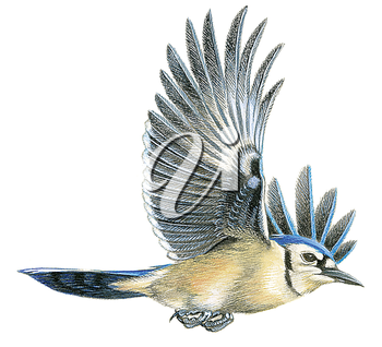 Royalty Free Clipart Image of a Blue Jay Bird