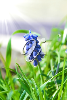 Blooming flower of blue hyacinth in the grass