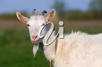 Portrait of a goat with horns on a background of green grass. Farm animal.