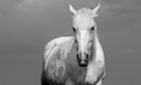 Black and white portrait of a white horse outdoors.