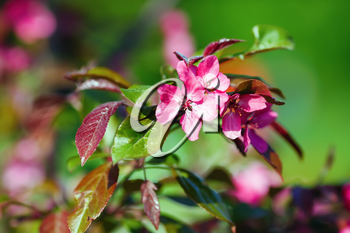 Pink spring flowers. Blossoming tree branch. Selective focus
