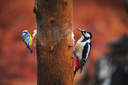 Close-up of a Blue Tit Bird and Woodpecker sitting on a tree in a rainy spring forest