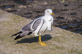 Large bird Larus seagull in a summer day stock photo