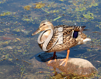 Female duck standing on stone over the water background