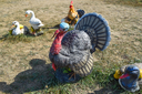 Toy turkeys and chickens in the meadow. Home decorations of the house.