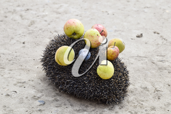 Hedgehog on a concrete surface. Hedgehog needles pinned on apples, peaches and plums. Hedgehog curled up into a ball.