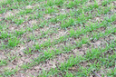 Spring winter wheat field. Shoots of wheat in a field on the ground. Cultivation of cereals.