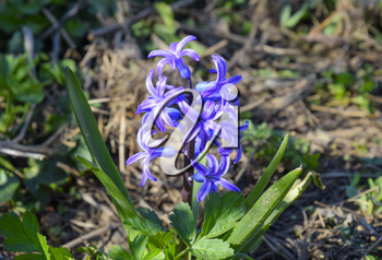 Hyacinth blooms in the garden. The hyacinth flower is blue