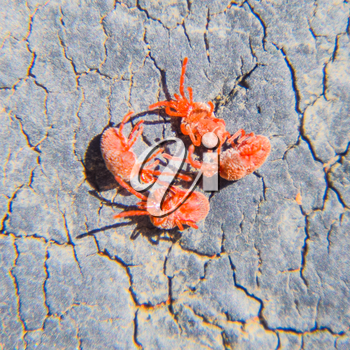 Close up macro Red velvet mite or Trombidiidae.