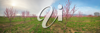Orchard blooming spring garden panorama. Nature composition.